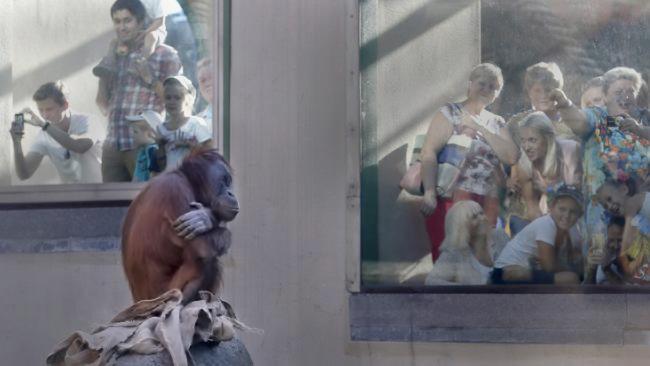 Sumatran Orangutan in Moscow Zoo Picture: Maxim Zmeyev / Reuters