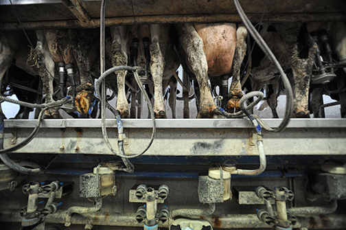 Cows being milked at a small-scale dairy and veal farm Picture: Jo-Anne McArthur
